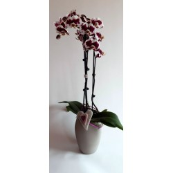Orchid Special Color